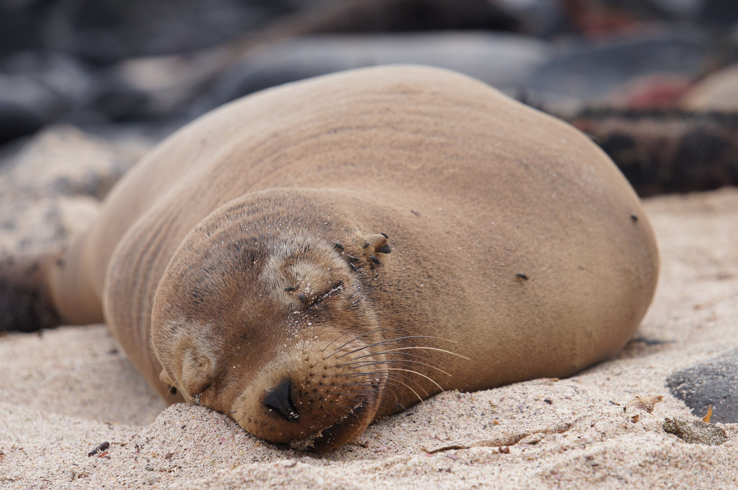 Photo of seal napping on the beach by Mackenzie Weber.