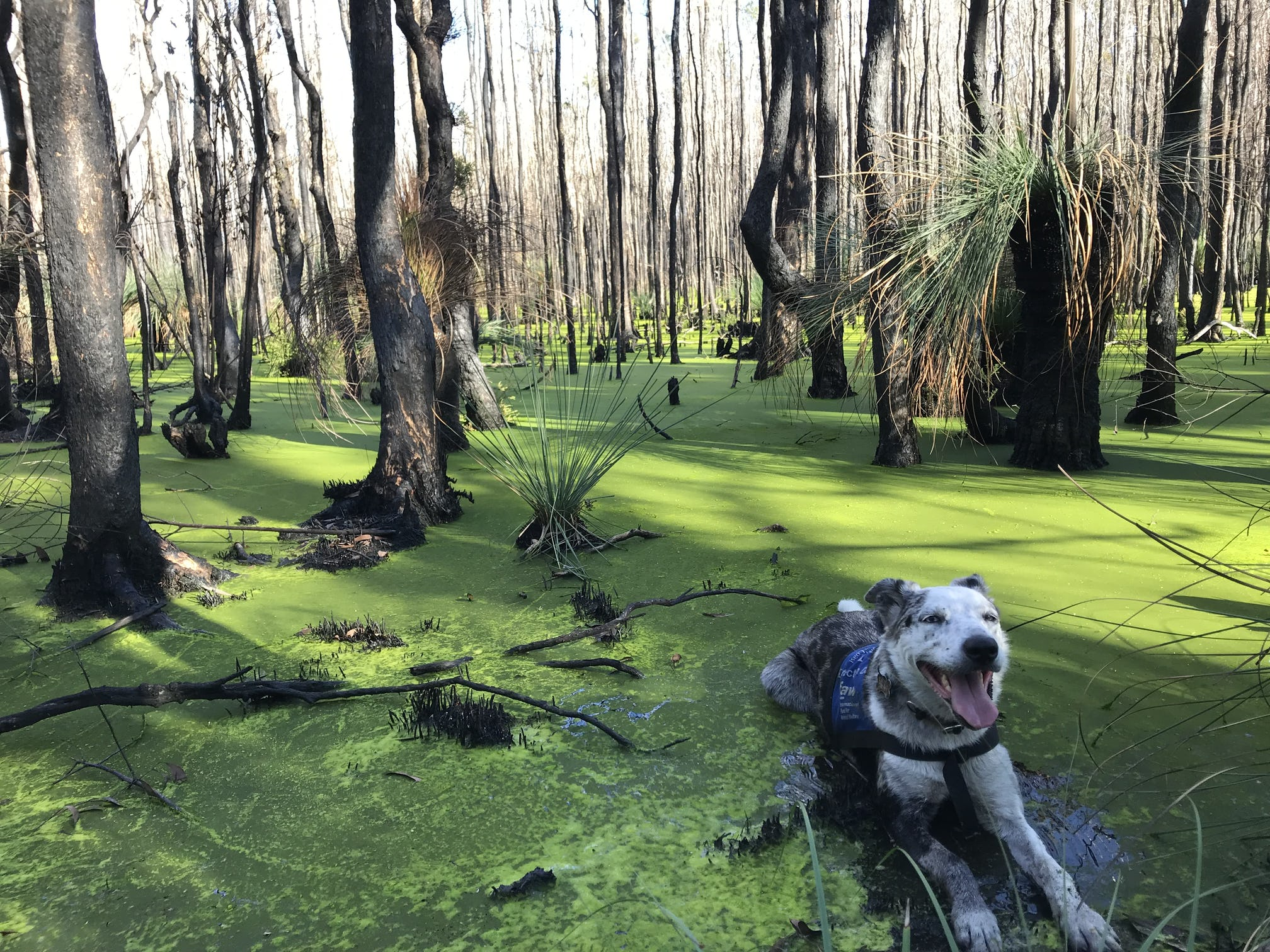 Bear cooling off in a bright green pond photo credit USC